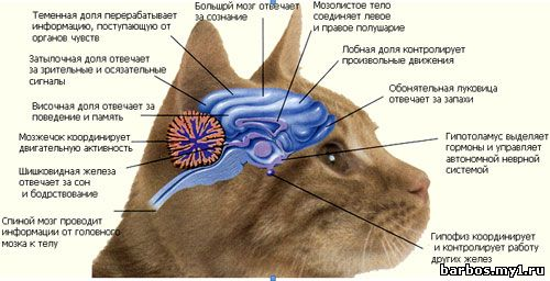 Мозг животных
