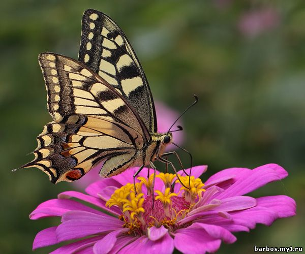 Парусник леви (papilio lowi), фото фотография бабочки насекомые