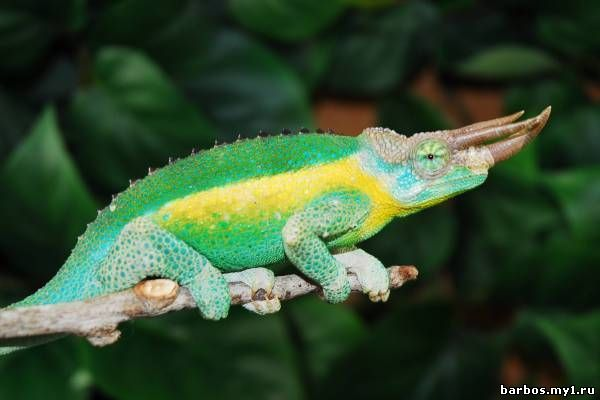 File:jacksons chameleon 2 edit1jpg