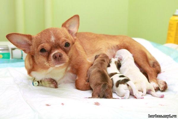 Беременность собаки, или щенность, протекает в среднем 63 дня, варьируясь п
